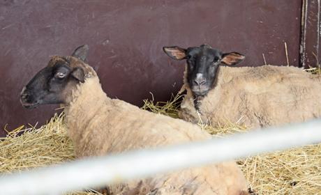 写真:みにみに牧場 羊